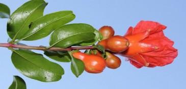 Nar çiçeği çayının insan sağlığı için önemli faydaları?