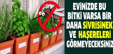 Evde bu bitkiler varsa ASLA sivrisinek ve zararlı böcek görmezsiniz!